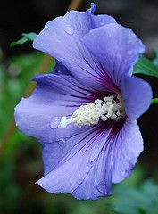 Rose of Sharon!~ ~~Blue Rose of Sharon~~ by Diana Nevermind~~Perennial, can be kept pruned, or will grow quite large!~~Blue Rose of Sharon~~ by Diana Nevermind~~Perennial, can be kept pruned, or will grow quite large! Hibiscus Flowers, All Flowers, Exotic Flowers, Tropical Flowers, Amazing Flowers, Purple Flowers, Beautiful Flowers, Blue Hibiscus, Beautiful Gorgeous