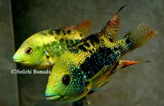 Rare African Cichlids | Super rare cool SA Cichlid !! - WaterWolves - Exotic, Rare and ...