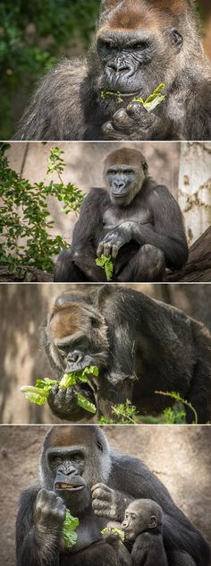 #Gorilla forest goes green. Photos by Helen Hoffman.