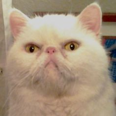 Meet Mr. Puff a Petfinder adoptable Exotic Shorthair Cat | San Antonio, TX | Mr. Puff is an 8 yr old white exotic shorthair. He came to us from a Houston area shelter - he had...