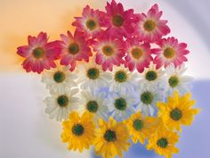 Varied colored Daisies