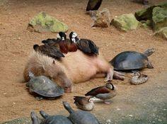 Aww! Capybara, turtles and ducks. Animal friends. :)