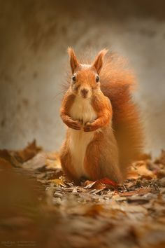 Little Red Squirrel Nature Animals, Animals And Pets, Baby Animals, Funny Animals, Cute Animals, Beautiful Creatures, Animals Beautiful, Beautiful Beautiful, Cute Squirrel