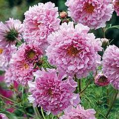 Cosmea, Schmuckkörbchen 'Double Click Rose Bonbon' Mischung - Cosmos bipinnatus -