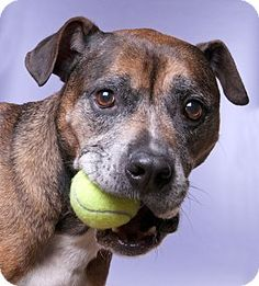 Chicago, IL - Boxer/American Pit Bull Terrier Mix. Meet Jerry, a dog for adoption. http://www.adoptapet.com/pet/15874961-chicago-illinois-boxer-mix