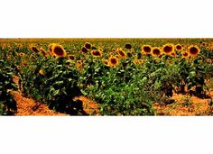 Sunflower Field  Yellow House Canyon  Lubbock County Texas, where we used to live!!!!