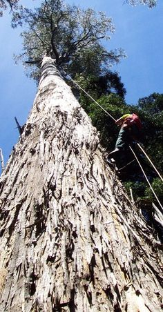 Scott Sharpe, arborist from Treemenders, descends from the ultra-tall Eucalyptus trees- the White Knights- at Evercreech Forest Reserve  Photo:  Tasmanian Geographic/(YD Bar-Ness) **Send us your photographs!**