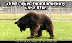 The glorious Newfoundland dog… i need him.