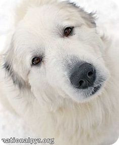 2/26/16 Beacon, NY - Great Pyrenees. Meet Coco - new!, a dog for adoption. http://www.adoptapet.com/pet/14996974-beacon-new-york-great-pyrenees