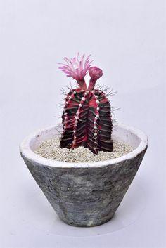 Gymnocalycium variegata