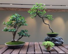 A lavender star flower (Grewia occidentalis) bonsai in the literati style (far right), on display in a recent exhibit at the botanic garden, along with two accent plants. (Claire Donnelly/MEDILL)