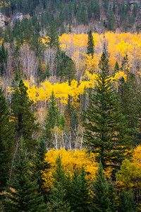 Yellow foliage weaves like a ribbon through the green spruce and pine of the Black Hills in South Dakota