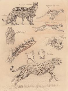 cheetah-anatomy-sketch-1 (150)