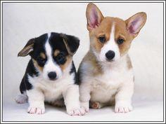 4 Dog Puppy Pembroke Welsh Corgi Dogs Puppies Greeting Notecards/ Envelopes Set. $6.99, via Etsy.