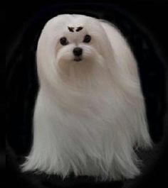 This is another gorgeous maltese that I repinned.  I hope to be able to have our maltese groomed like this some day.
