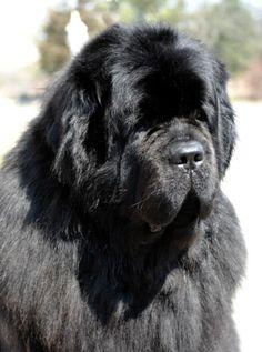 Newfoundland Dog: Kosmo (DreamTime Newfs)
