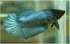 Types of Betta Fish - There are lots of different types of betta fish and this article covers them in detail including breeds, patterns, colors, tail differentiation and more. #TypesofBettaFish