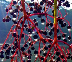 elderberry /piękny czarny bez