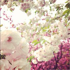Yae-sakura  at Sigoyama Park daikanyama,Tokyo....cherry blossoms <3