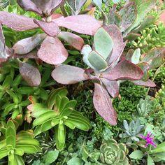 #succulentgarden #growingwild #garden #succulents
