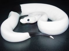 Panda Pied ball python. One of these costs at least 18,000 dolars due to how hard it is to get the color results in the breeding. Amazing! <3
