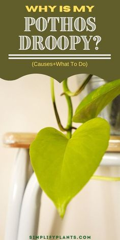 House Plant Care, House Plants, Gardening For Beginners, Gardening Tips, Pothos In Water, Low Humidity, Pothos Plant, Money Plant, Caring Too Much