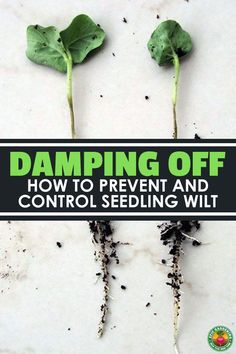 Has damping off got you down? Do you weep with sorrow as your little green darlings turn brown? Learn how to prevent this annoying disease easily. #epicgardening #seeds #gardening