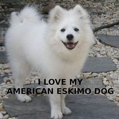 'american eskimo dog love with picture' by marasdaughter Beautiful Dogs, Animals Beautiful, Cute Animals, Cute Puppies, Cute Dogs, Dogs And Puppies, I Love Dogs, Puppy Love, American Eskimo Puppy