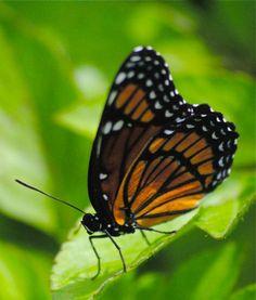 beauté rendez-vous: Viceroy papillon