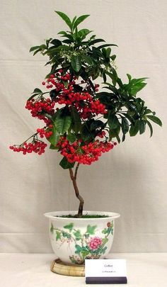 Grow your own coffee tree in pot, read this informative and complete growing guide on coffee tree.