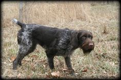 wirehaired pointers - Google Search