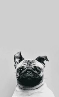Imagem de dog, cute, and pug