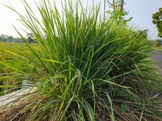 Growing Citronella: Varieties, Planting Guide, Care, Problems and Harvest Wormwood Plant, Plants That Repel Flies, Citronella Plant, Homemade Bug Spray, Planting Marigolds, Laurus Nobilis, Fly Repellant, Insect Repellent, Laurel Leaves
