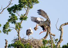 Knepp Castle, West Grinstead. Photo: Malcolm Green Baby Stork, Hope Symbol, British Countryside, Wildlife Conservation, Wild Birds, Bald Eagle, Habitats, Colonial, Castle