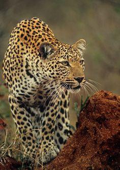 Leopard Focus
