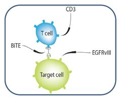 New Immune Therapy Successfully Treats Brain Tumors in Mice  18/12/2012 20:36:00