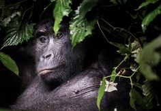 From the shadows . Hiking with the local guides, we stumbled upon this Mountain Gorilla peering curiously from the depths of the Impenetrable Forest. Photo and Caption by Harry National Geographic Nature Photographer of the Year Photographie National Geographic, National Geographic Photographers, Wildlife Photography, Animal Photography, Female Gorilla, Gorilla Gorilla, National Geographic Expeditions, National Geographic Photo Contest, Shadow Photos