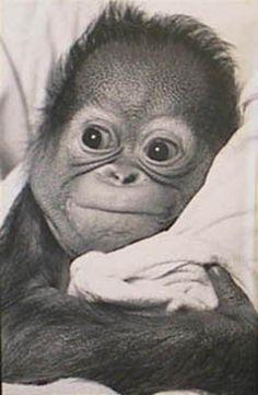 orangutan (Photography) Posters at AllPosters.com