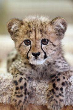 ~~Kiburi ~ 11-week old cheetah cub, by day1953~~