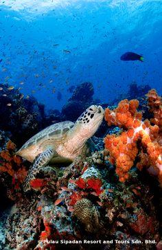 photogenic at any angle, the green turtle at Lankayan Island. =) (www.facebook.com/sipadanresort)
