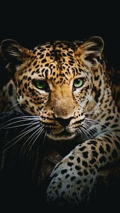 leopard - Cats and Dogs House Beautiful Cats, Animals Beautiful, House Beautiful, Big Cats, Cats And Kittens, Animals And Pets, Cute Animals, Flora Und Fauna, Majestic Animals