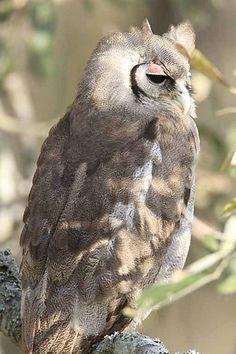 Giant Eagle Owl, South Africa - Kruger National Park