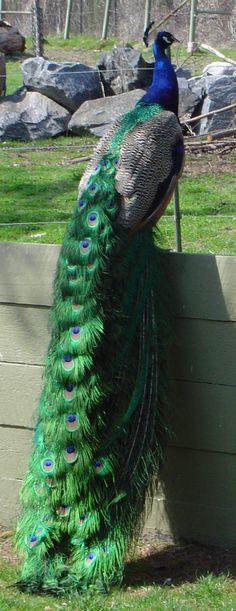 Peacock by trizany-stock
