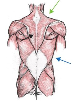 Anatomical illustrations of muscle groups can be complicated. Someone had the decency to outline the major groups so it's easier to visualize function and shape. I also suggest this for simplified reference: http://www.amazon.com/How-Draw-Paint-Anatomy-Life-Like/dp/1565237161