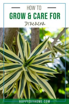 Dracaena is a very beginner-friendly plant more commonly known as the dragon tree. This is a stiff-leaved and attractive plant that has sword-like leaves with red edges. Easy Vegetables To Grow, Growing Seeds, Plants, Gardening Advice, Gardening For Beginners, Dracaena, Container Gardening, Easy Garden, Dracaena Plant