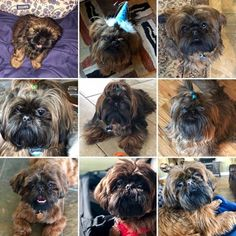 Quality ShihTzu for quality homes for Pets and Therapy dogs. We offer LIFETIME advice for your Glory Ridge ShihTzu. Imperial shihtzu to standard size shihtzu in every color. Therapy Dogs, Shih Tzu, Puppies, Pets, Black, Cubs, Black People, Pup, Newborn Puppies