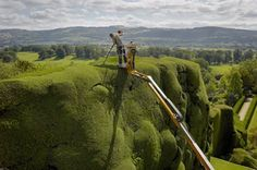 This week our gardeners are continuing the huge job of trimming all the high yew topiary. Before the introduction of powered hedge trimmers it used to take four gardeners four months to clip the hedges, all whilst balancing on very long ladders. Definitely not for the faint hearted! These days it takes two gardeners six weeks to trim the box, two gardeners 12 weeks to cut the formal yew and one gardener working in the Cherry Picker up to ten weeks to cut the high topiary.