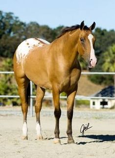 """Tack Me Up - Yellow Dun Appaloosa with a Divided Blanket (a normal blanket with a """"colored stripe"""" down the dorsal to the tail, resulting with two separate white """"Blankets"""" on the hindquarters. Most Beautiful Animals, Beautiful Horses, Beautiful Creatures, Cute Horses, Horse Love, Jaguar, Appaloosa Horses, All The Pretty Horses, Horse Pictures"""