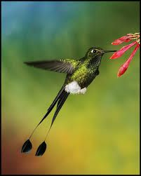 Racket-tailed coquette - Google Search