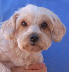 Pandora is an angelic little lady who needs someone to love. She is a Malti-Poo, almost 3 years of age and spayed, ready for adoption at Nevada SPCA (www.nevadaspca.org). Pandora is housetrained and good with dogs and mature kids. There was no reason given for her surrender, but chronic ear infections were mentioned, so consultation with your veterinarian about her diet and ear cleaning will be helpful for her comfort through the years. Please visit and ask for Pandora by name.